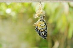 Метаморфоза бабочки от кокона и подготавливает к летать на алюминиевую бельевую веревку в саде Стоковая Фотография RF