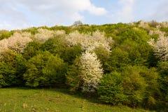 Метаморфоза весны леса от белого к зеленому дереву Стоковые Фотографии RF