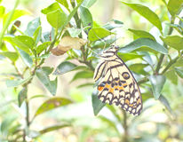 Метаморфоза желтой бабочки Стоковое фото RF