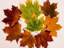 Метаморфоза листвы золы на белой предпосылке Стоковые Изображения