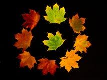 Метаморфоза листвы золы на черной предпосылке Стоковые Фото