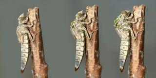 Метаморфоза dragonfly Clubtail реки Стоковые Изображения RF