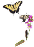Метаморфоза Swallowtail тигра Стоковое Изображение RF