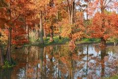 Метасеквойя леса воды красная перевернула отражение в покрашенной воде, стране стоковое фото