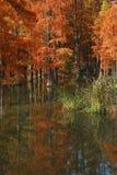 Метасеквойя леса воды красная перевернула отражение в покрашенной воде, стране стоковые изображения rf