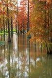 Метасеквойя леса воды красная перевернула отражение в покрашенной воде, стране стоковые изображения