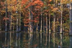 Метасеквойя леса воды красная перевернула отражение в покрашенной воде, стране стоковая фотография rf