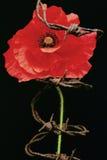 Метафора мака день памяти погибших в первую и вторую мировые войны Стоковые Фото