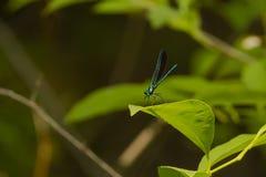 Металлическая зеленоголубая мужская красотка Jewelwing чёрного дерева на лист Стоковые Изображения RF