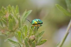 Металлический зеленый жук Стоковые Фото