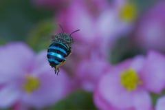Металлическое Striped насекомое летает к цветкам Стоковые Фотографии RF