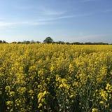 Метки поля Tey рапса, Essex, Англия Стоковое фото RF