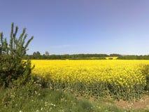 Метки поля Tey рапса, Essex, Англия Стоковое Изображение