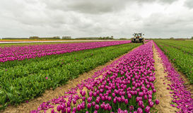 Механизированный режущ цветок головы в тюльпане field Стоковые Изображения RF