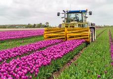 Механизированный режущ цветок головы в тюльпане field Стоковое фото RF