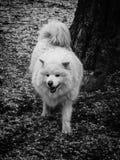Меховая белая собака в парке Стоковые Изображения