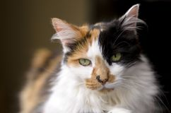 Меховая домашняя кошка Стоковые Фотографии RF