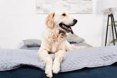 Меховая собака золотого retriever лежа на кровати Стоковые Изображения