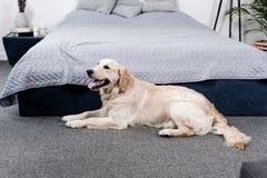 Меховая собака золотого retriever лежа на поле Стоковые Изображения