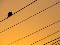 Меховое положение голубя завитое на проводе Стоковые Фото
