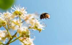 Меховой шмель летает на цветок каштана животные и насекомые стоковые изображения rf