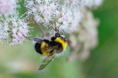 Меховой striped шмель сидит на ядовитом белом цветке Hemlock воды на зеленой предпосылке Текстурированные крылья : стоковая фотография rf