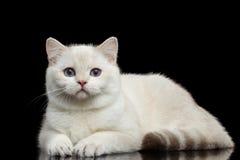 Меховые британцы разводят цвет кота белый на изолированной черной предпосылке стоковые изображения rf