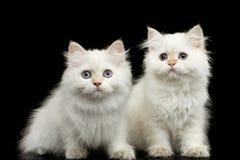 Меховые британцы разводят цвет котенка белый на изолированной черной предпосылке Стоковые Изображения RF