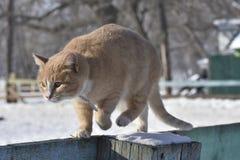 Меховые прогулки кота загородка стоковые изображения rf