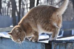 Меховые прогулки кота загородка стоковая фотография rf