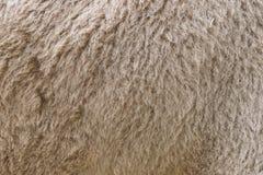 Мех верблюда Стоковые Фото