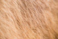 Мех верблюда Стоковая Фотография RF