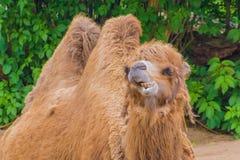 Мех горбов дромадера 2 верблюда пушистое коричневое есть сено Стоковые Изображения RF