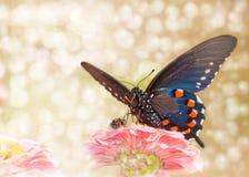 Мечтательное изображение бабочки swallowtail Pipevine Стоковая Фотография