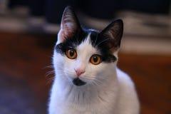 Мечтательный волшебный кот смотря на камеру Стоковое Изображение RF