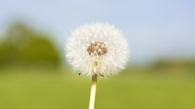Мечтательный одуванчик на мглистой предпосылке лета Стоковое Изображение RF