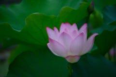 Мечтающ цветок лотоса чувства приюченный в лотосе выйдите стоковое фото