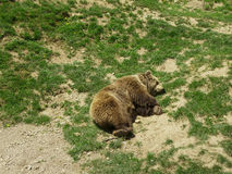 мечта медведей Стоковые Изображения RF