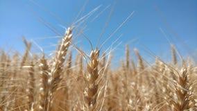 Мечта пшеницы Стоковое Фото