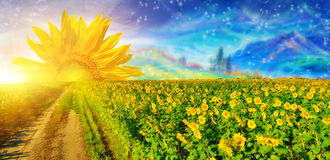 Мечта солнцецвета стоковое фото rf
