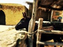 Мечты маленькой черной лошади стоковое изображение