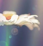 Мечт маргаритка стоковая фотография