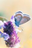 Мед-бабочка Стоковые Изображения