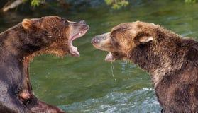 Медведи Брайна воюя в воде стоковая фотография rf