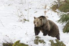Медведи в богемском лесе, Германии Стоковые Фото