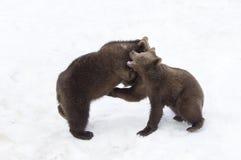 Медведи в богемском лесе, Германии Стоковое Изображение RF