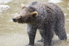 Медведи в богемском лесе, Германии Стоковое Фото