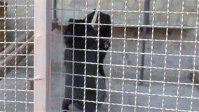 Медведи играют в клетке сток-видео