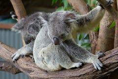 Медведи коалы Стоковые Изображения RF