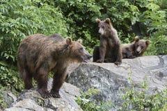 Медведи на утесах Стоковая Фотография